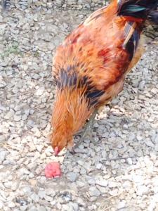 cluck3